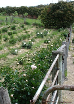 Rows of peonies at Forty Bends Farm
